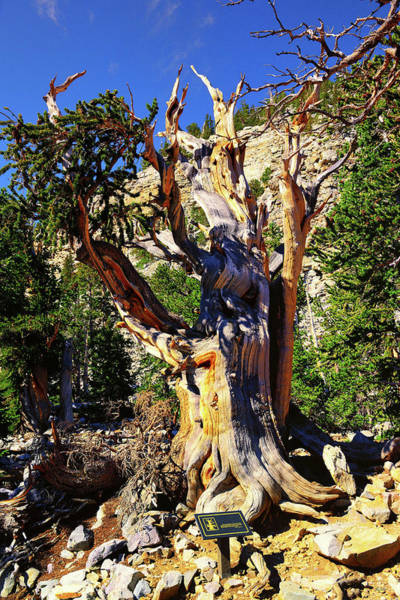 Photograph - Ancient Bristlecone by Greg Norrell