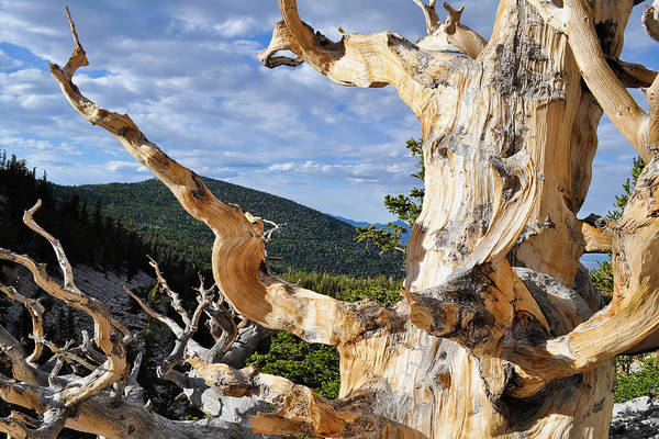 Photograph - Ancient Bristlecone Pine Branch by Kyle Hanson