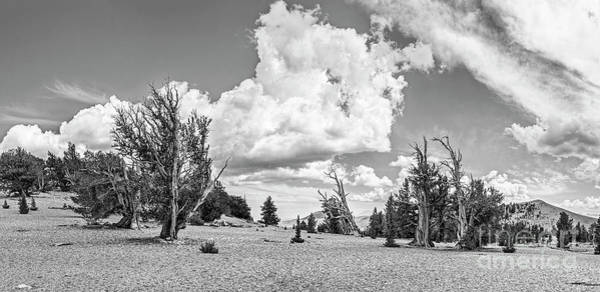Pine Grove Photograph - Ancient Bristlecone Pine Forest Panorama by Jamie Pham