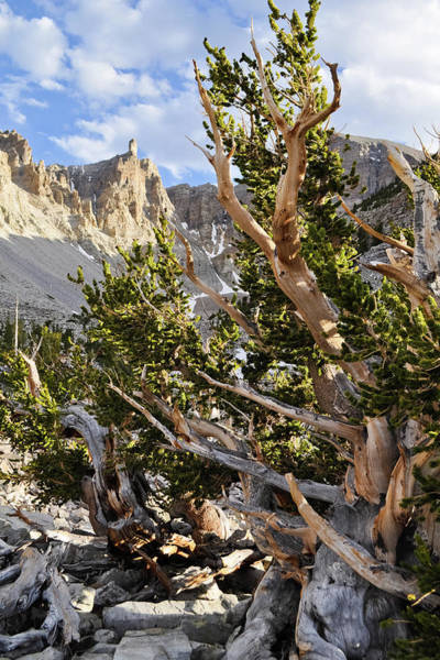 Photograph - Ancient Bristlecone Pine Great Basin by Kyle Hanson