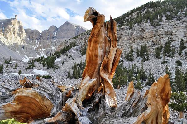 Photograph - Ancient Bristlecone Pine Grove Nevada by Kyle Hanson