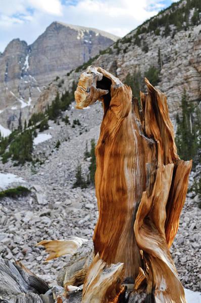 Photograph - Ancient Bristlecone Pine Grove Nevada Portrait by Kyle Hanson