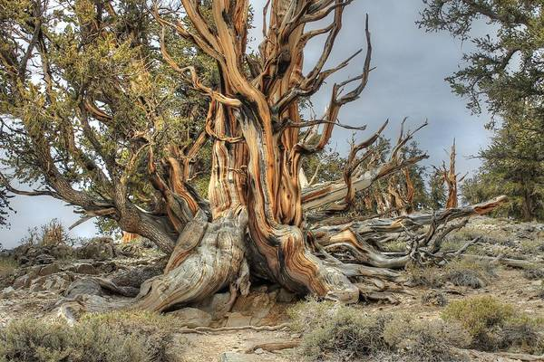 Wall Art - Photograph - Ancient Bristlecone Pine by Jane Linders