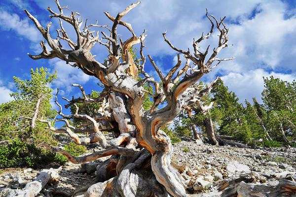 Photograph - Ancient Bristlecone Pine by Kyle Hanson