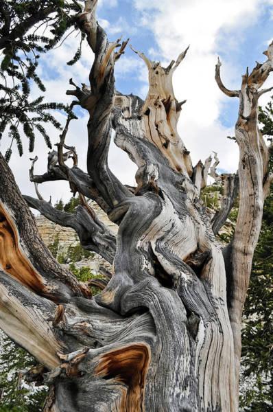 Photograph - Ancient Bristlecone Pine Light by Kyle Hanson