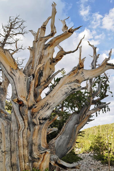 Photograph - Ancient Bristlecone Pine Magic Hour by Kyle Hanson