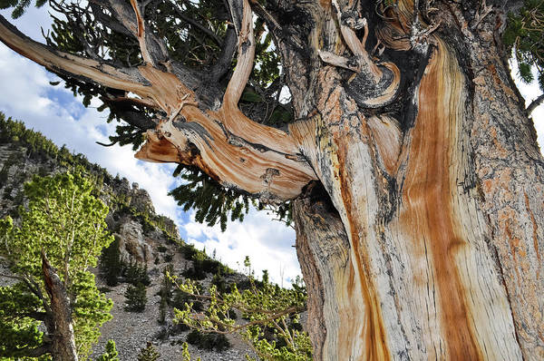 Photograph - Ancient Bristlecone Pine Nevada by Kyle Hanson