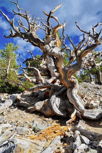 Photograph - Ancient Bristlecone Pine Portrait by Kyle Hanson