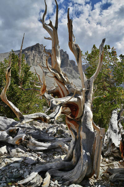 Photograph - Ancient Bristlecone Pine by Ray Mathis