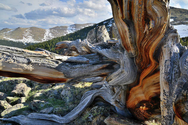 Photograph - Ancient Bristlecones On Mt. Evans by Ray Mathis