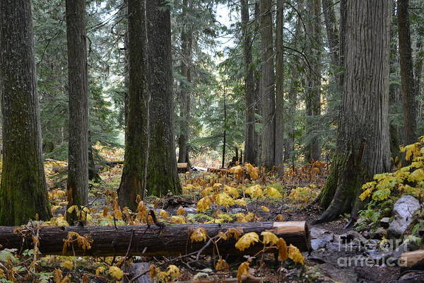 Photograph - Ancient Forest - British Columbia by Vivian Martin