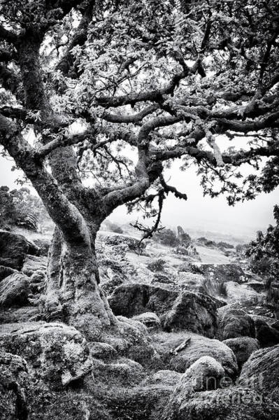 Wall Art - Photograph - Ancient Oak Wistman's Wood by Tim Gainey
