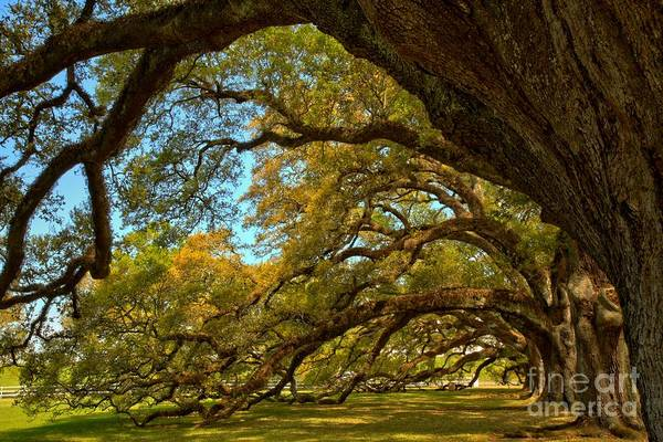 Photograph - Ancient Oaks And Blue Skies by Adam Jewell