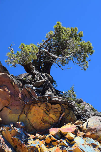 Photograph - Ancient Pine Mount Lassen Volcano by Frank Wilson