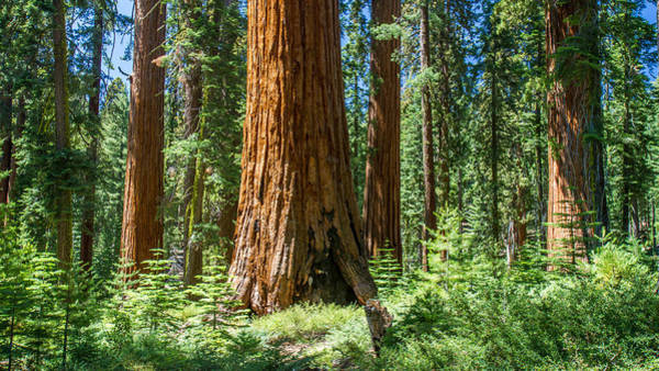 Photograph - Ancient Sequoia Forest by Pierre Leclerc Photography