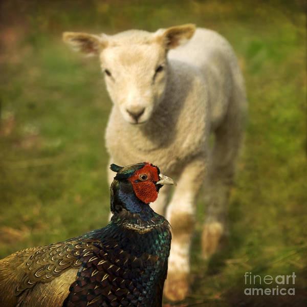 Sheep Photograph - And Who Are You by Angel Ciesniarska