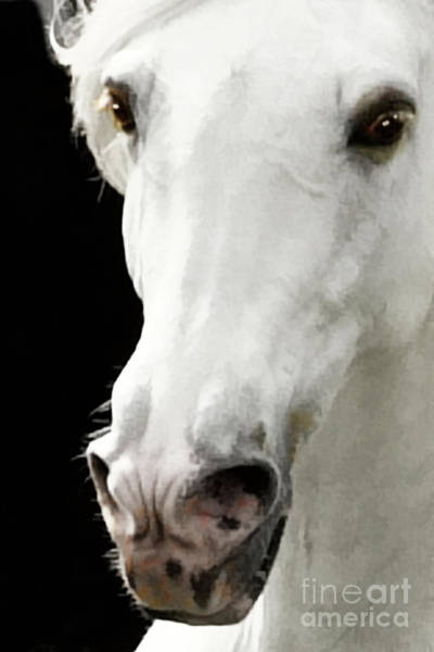 Photograph - Andalusian Stallion by Melinda Hughes-Berland