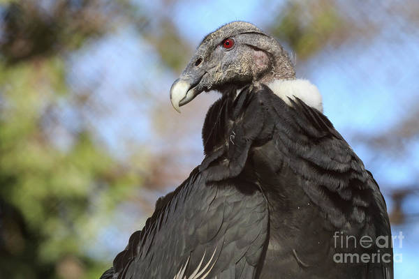 Photograph - Andean Condor by Richard Smith
