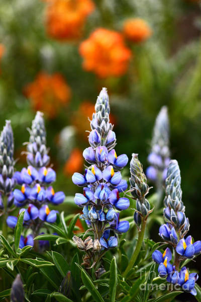 Photograph - Andean Lupins 1 by James Brunker