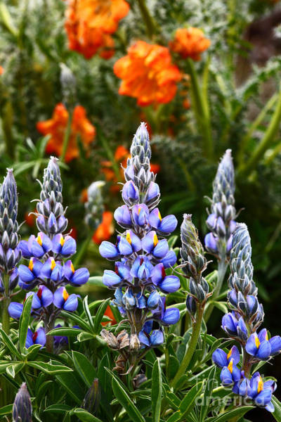 Photograph - Andean Lupins 2 by James Brunker