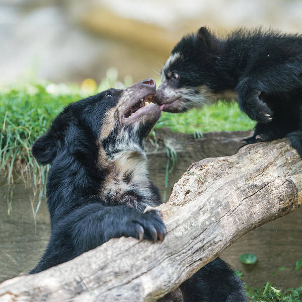 Photograph - Andean Speckled Bear Cub Licking His Mom by William Bitman