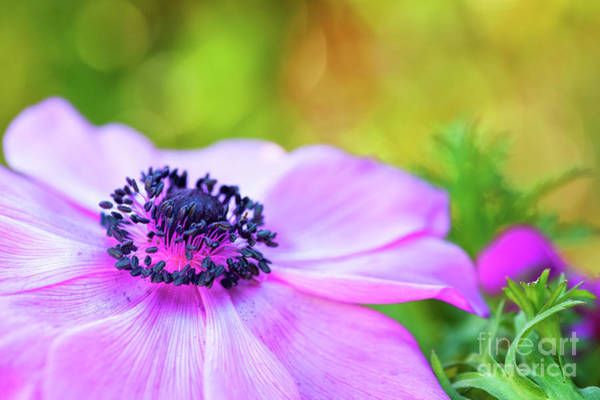 Dof Photograph - Anemone Pink by Tim Gainey