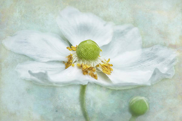 Photograph - Anemone With Textured Background by Belinda Greb