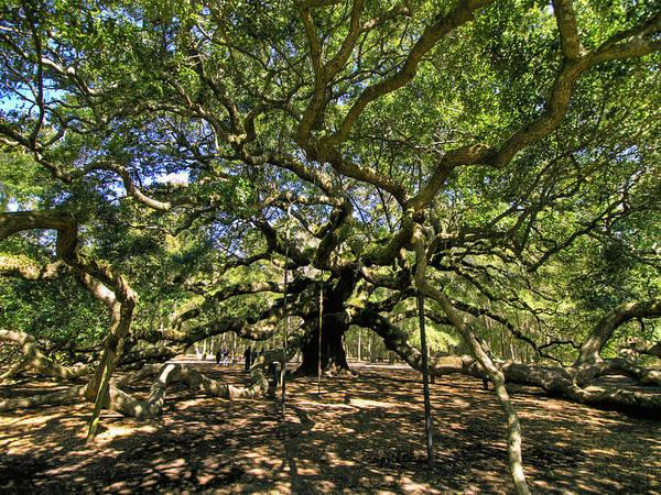 Photograph - Angel Oak by Mike Covington