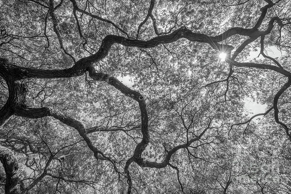 Wall Art - Photograph - Angel Oak Tree Abstract Bw by Michael Ver Sprill