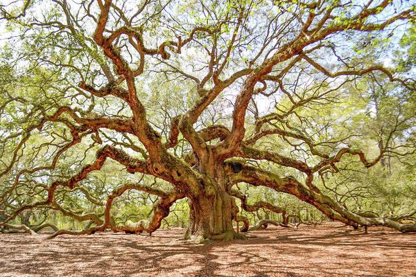 Photograph - Angel Oak Tree by Kim Elliott