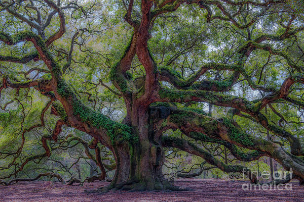 Photograph - Angel Oak Tree Deeply Rooted History by Dale Powell