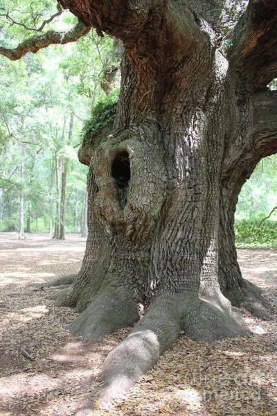 Photograph - Angel Oak Trunk by Carol Groenen