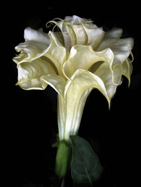 Moon Flower Photograph - Angel Trumpet by Jessica Jenney