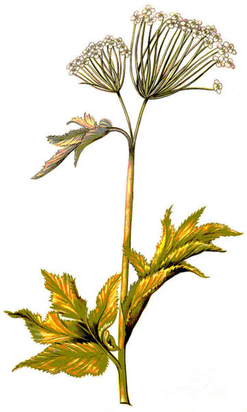 Perennial Painting - Angelica by Nicolas Robert