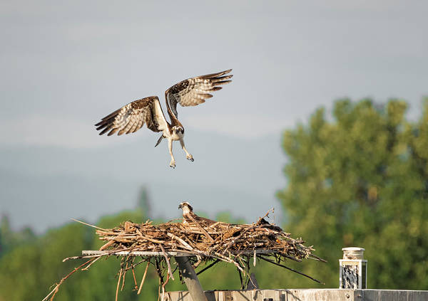 Photograph - Angry Bird by Loree Johnson