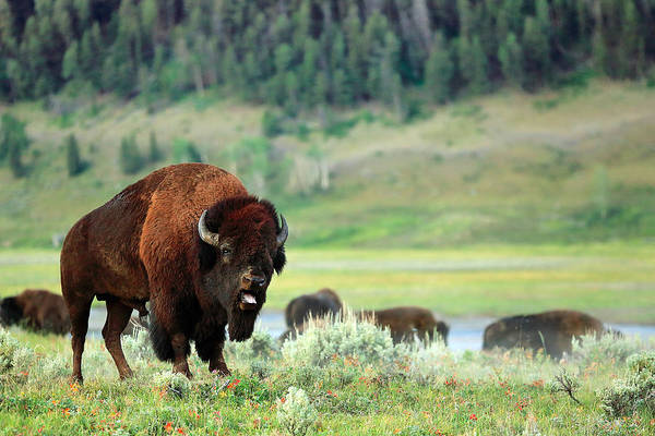 Snorting Wall Art - Photograph - Angry Buffalo by Todd Klassy