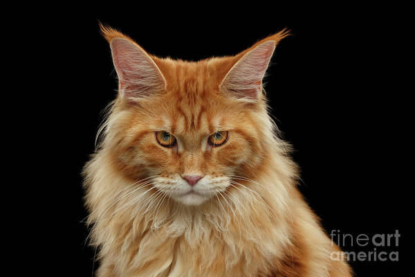 Big Cats Photograph - Angry Ginger Maine Coon Cat Gazing On Black Background by Sergey Taran