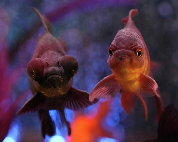 Photograph - Angry Goldfish by Angela Murdock