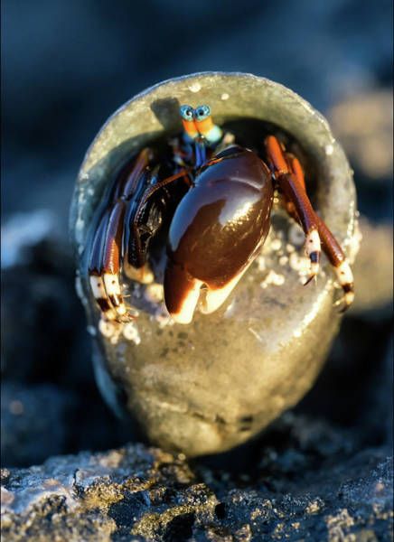 Photograph - Angry Hermit Crab by Christopher Johnson