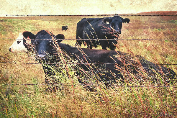 Photograph - Angus Cows by Anna Louise