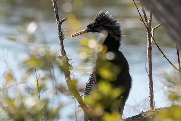 Photograph - Anhinga 3 March 2018 by D K Wall