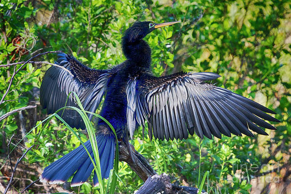 Photograph - Anhinga Blue Eye by Deborah Benoit