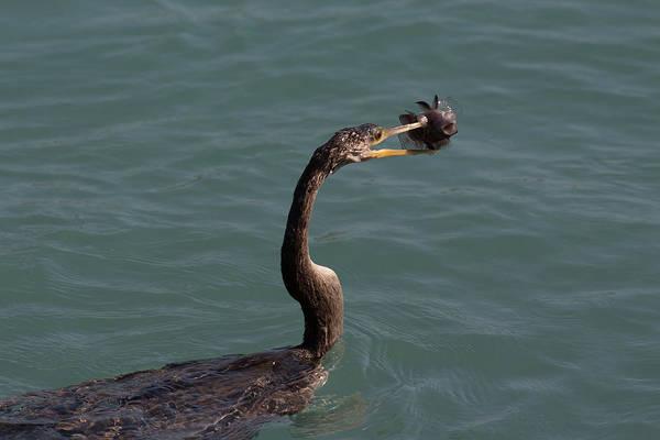 Photograph - Anhinga Catching Fish #1 by Richard Goldman
