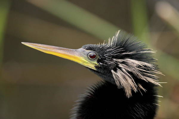 Photograph - Anhinga Close-up by Brian Magnier