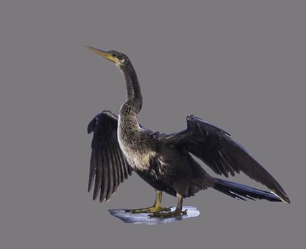 Photograph - Anhinga Drying Wings Transparency by Richard Goldman