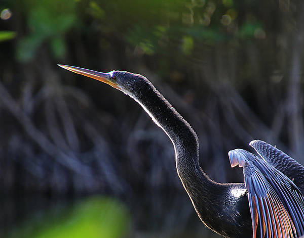 Photograph - Anhinga  by Michele A Loftus