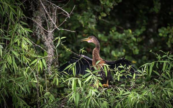 Photograph - Anhinga Sitting In A Tree by Framing Places