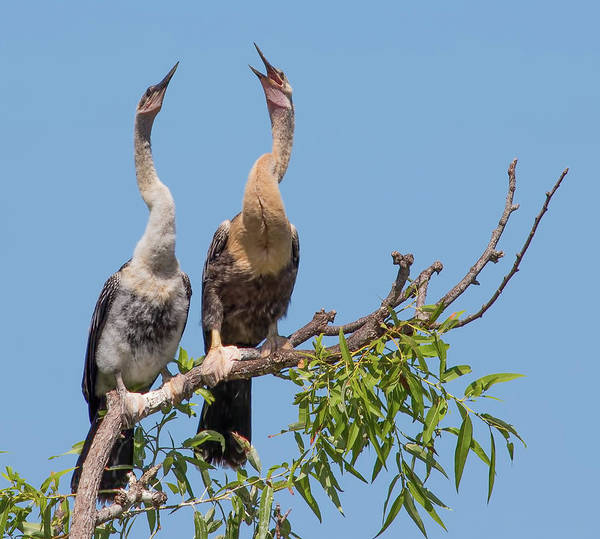 Photograph - Anhingas Waiting For Dinner by Richard Goldman