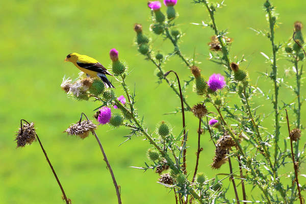 Photograph - Animal - Bird - Thistle Me A Song by Mike Savad