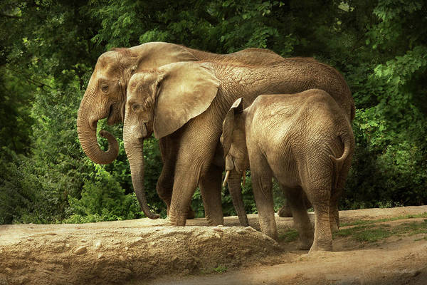 Photograph - Animal - Elephant - Tight Knit Family by Mike Savad